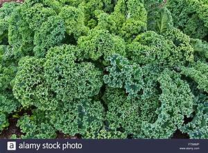 Close-up of 'Green Curly' organic Kale leaves growing ...