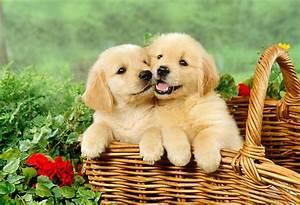 Golden, Retriever, Puppies, Pictures