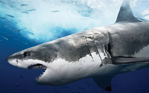 shark wallpaper hd shark pictures hd animal wallpapers