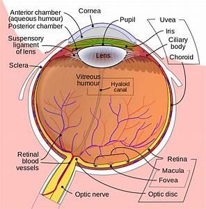 Diagrams Of The Human Eye