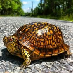 Leopard Eastern Box Turtle