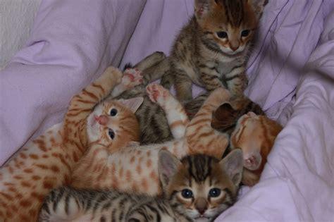 bengal kitten  silber bengal cat
