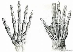 Anatomical Hands By Psybernaut On Deviantart