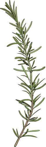 Rosemary Herb Diagram by Large Line Drawing Of Mentha Arvensis