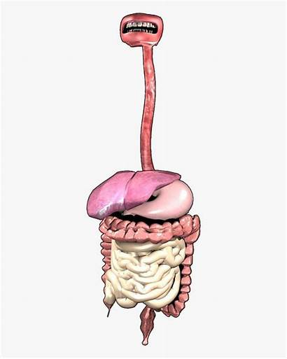 Digestive System Transparent Clipart Clipartkey Pngfind