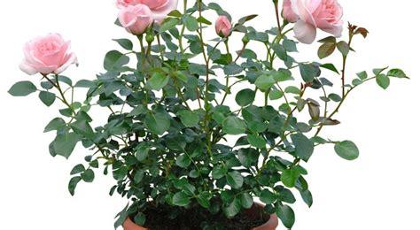 rosier semis entretien culture et arrosage