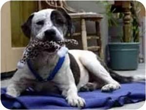 Smiley   Adopted Dog   Vista, CA   American Bulldog/Basset ...
