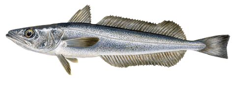 cuisiner du maquereau merlu marine stewardship council