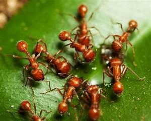 Discovering Something New   Fire Ant
