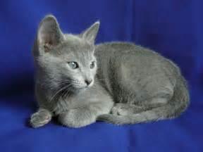 russian blue cats description russian blue kitten jpg