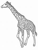 Coloring Realistic Giraffe Pages Jerapah Printable Gambar Titan Posted sketch template