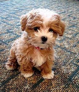 Cute puppy and dog: Top 5 Dog breeds that don't Shed