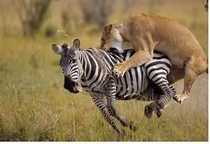lion attacking image - HD Wallpaper