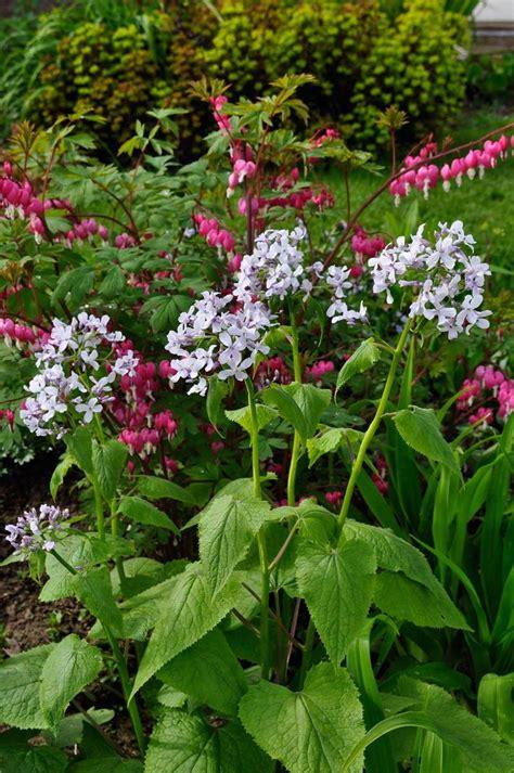 flowering perennials early flowering perennials claire austin