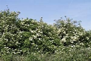 Wann Müssen Apfelbäume Geschnitten Werden : holunder schneiden so machen sie es richtig ~ Lizthompson.info Haus und Dekorationen