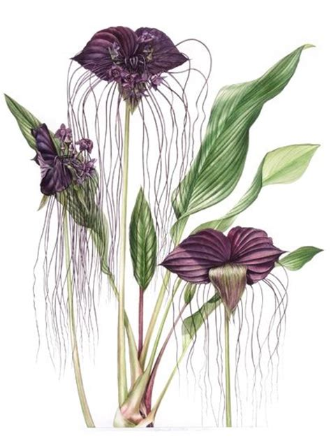 tacca chantrieri bat flower billy showell sba