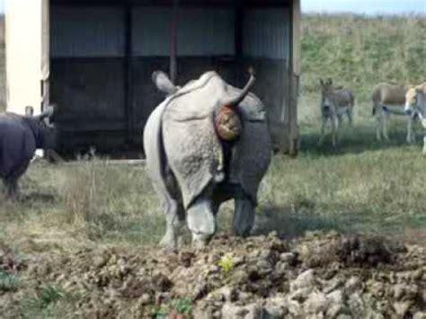 rhino pooping   wilds caught  camerapretty funny