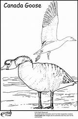 Goose Geese Coloring Canada Migration Canadian Colouring Formation Colors Fact Too Cartoon Template sketch template