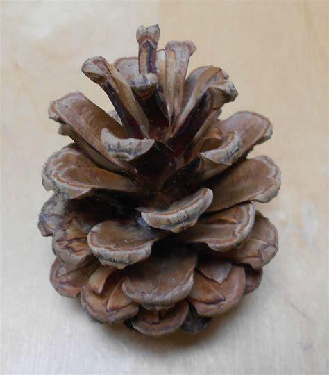pomme de pin le de thali activit 233 s pour petites mains