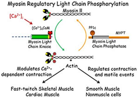 Myosin Light Chain Kinase by Myosin Light Chain Kinase Myosin Kinase