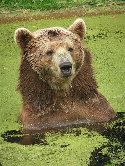 Bear Brown Eurasian Wikipedia Facts Grizzly Wiki