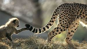 Some Cheetahs Are Terrible Mothers  And That Leads To