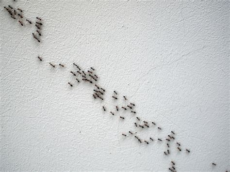 rid  common missouri ants micks exterminating