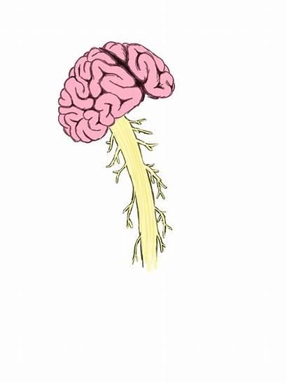 Spinal Cord Brain Clipart Transparent Human Vertebral