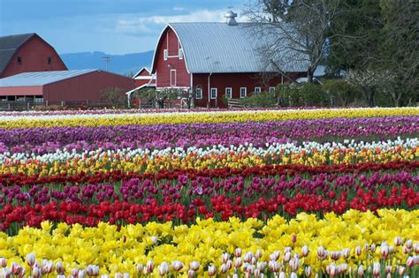 tulips festival in usa skagit valley canuckabroad places