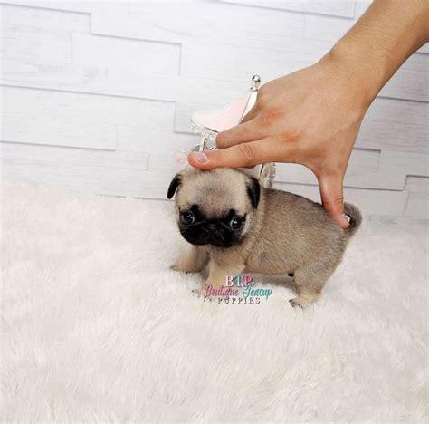 mini pug micro pug teacup pug teacup pug puppies