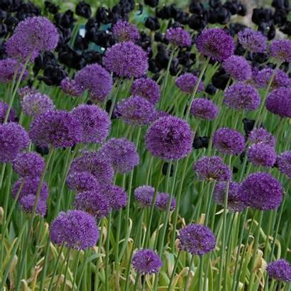 Allium Sensation Purple Sierui Aflatunense Bees Butterflies