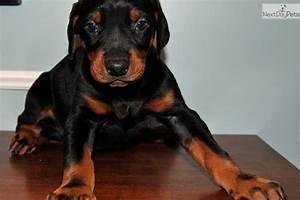 Sweet Blue: Doberman Pinscher puppy for sale near ...