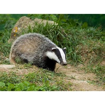 European Badger Cub - Animal Facts and Information
