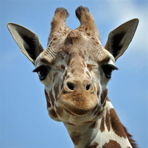 Qual é o som que as girafas fazem? - Galileu