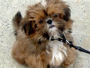 Brown Shih Tzu Dogs