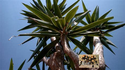yucca palme düngen frage antwort nr 162 woran erkennt moderne sagen n tv de