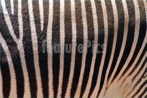 zebra skin color wildlife zebra skin texture stock picture i1108218 at