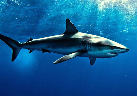 Great White Shark Hd Shark Dream Meaning And Interpretations Dream Stop