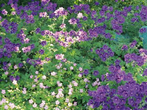 plants for dense shade spectacular blankets using groundcover plants to your advantage landscaping ideas and