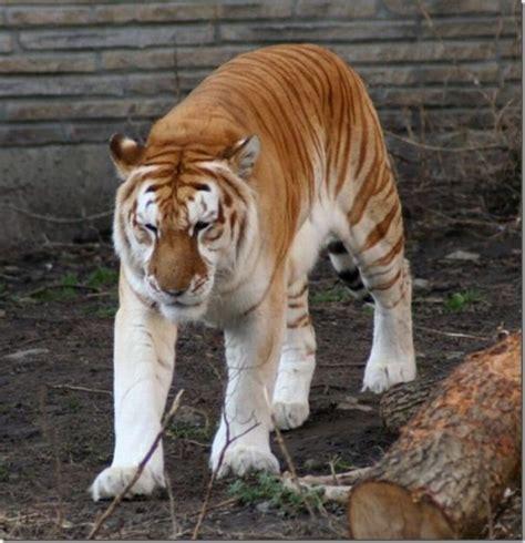 Animal World Toktil Amazing Golden Tiger