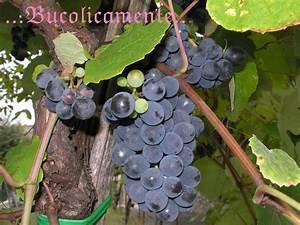 Bucolicamente: Alberi da frutto: la vite di uva fragola