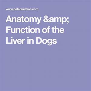 Anatomy  U0026 Function Of The Liver In Dogs