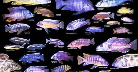 lake malawi cichlids pinteres
