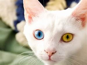 Cute White Kittens With Blue Eyes Wallpaper Hd Best Cat ...