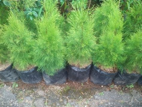 jual pohon cemara balon tanaman hias tanaman pelindung