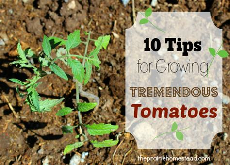 tomatoes growing tips 99 remarkably clever gardening tips shortcuts that you can steal immediately back to my garden