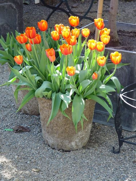 planting tulips dirt simple