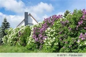 Blühende Hecke Schnellwachsend : bl tenhecke anlegen pflanzpflanz einer bl henden hecke ~ Whattoseeinmadrid.com Haus und Dekorationen