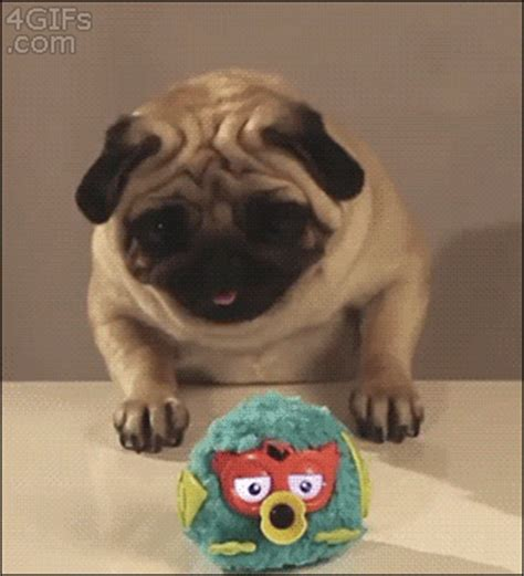 reasons  pugs    majestic creatures  earth