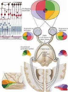 Retinogeniculostriate Pathway - Spinal Nerve